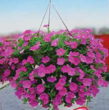 Seeds of Petunia PETUNIA F1 Sonya hot pink Kohler crimson ampelous