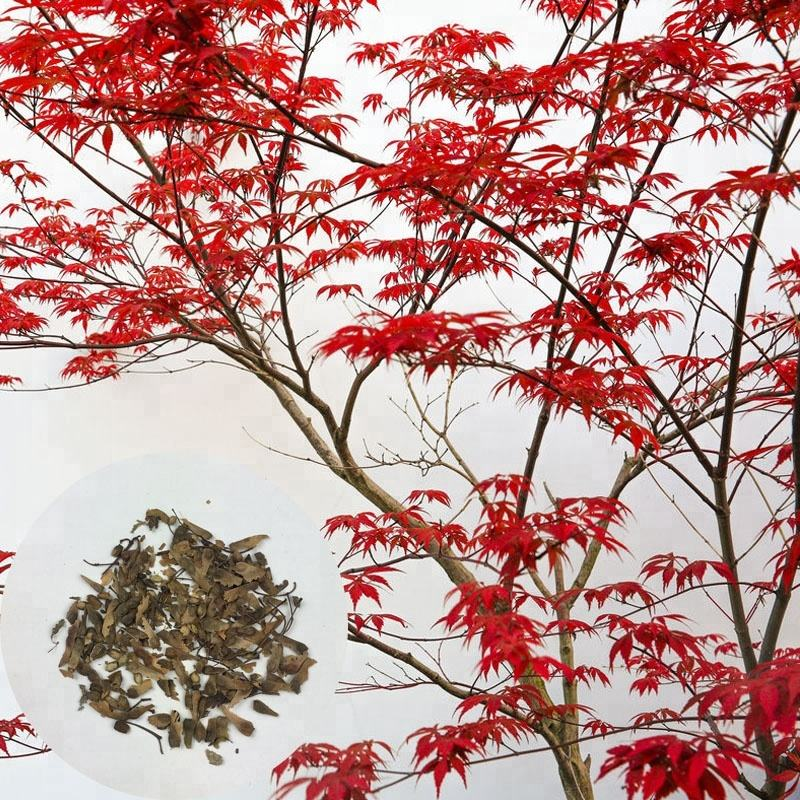 Atropurpureum High Quality Best Price Ornamental Deciduous Tree Red Maple Seeds