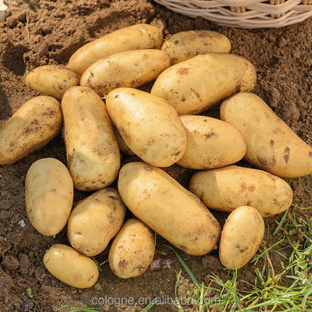 2018 fresh chinese yellow potato all size (S M L 2L ) from owned farm supplying all the year round to the world