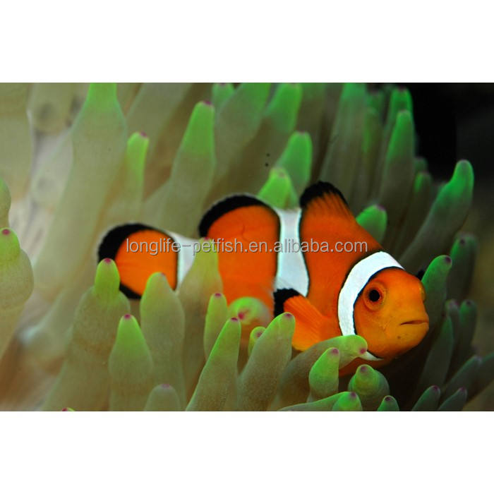 Live Marine Aquarium Clown Fish