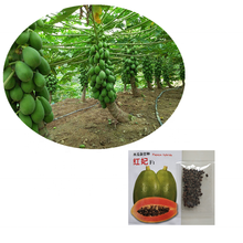 Taiwan F1 Hybrid Red Lady Papaya Seeds for Growing