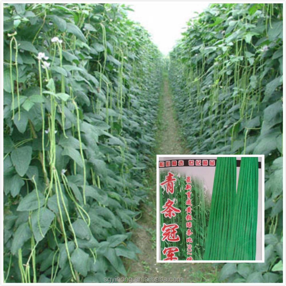 high yield early maturity green kidney long bean seeds