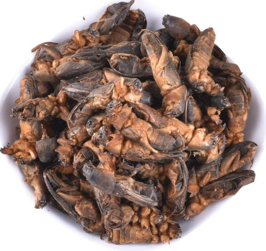 Natural dried wild Gryllolaptaptidae chinese mole cricket insects for food
