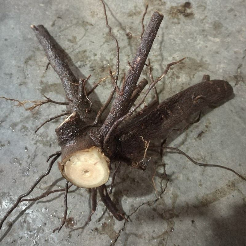 fast grow cold resistant hybrid paulownia tree root cut stump planting