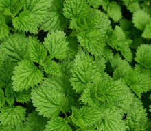 Mint Seeds Mentha Piperita Seeds For Planting