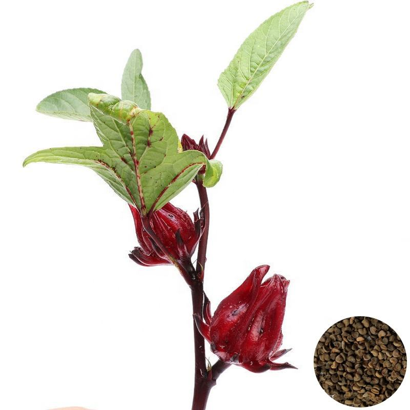 Factory Supply Top Quality Natural Roselle Calyx Seeds Dried Rose Eggplant Flower Seeds For Planting