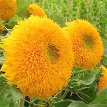 Sunflower seeds/Helianthus annuus seeds/tournesol seeds for growing