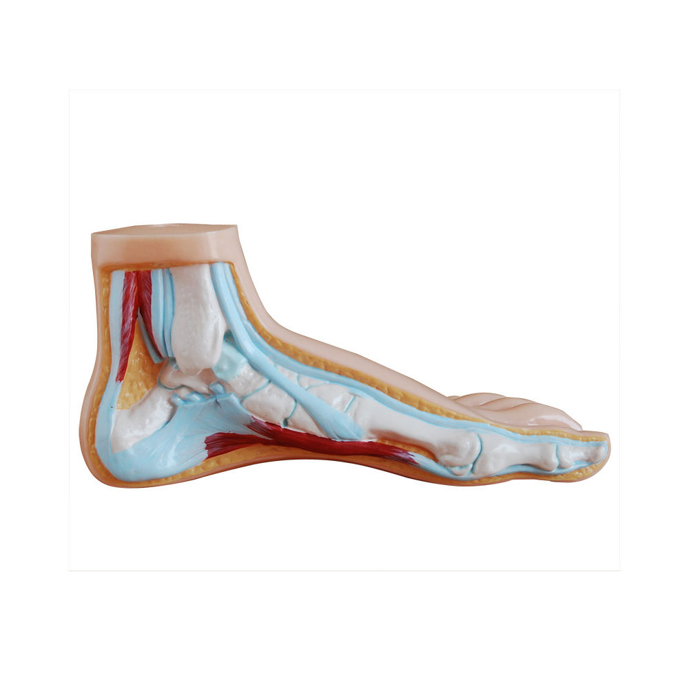 LTM324A Anatomical model of Normalize Foot