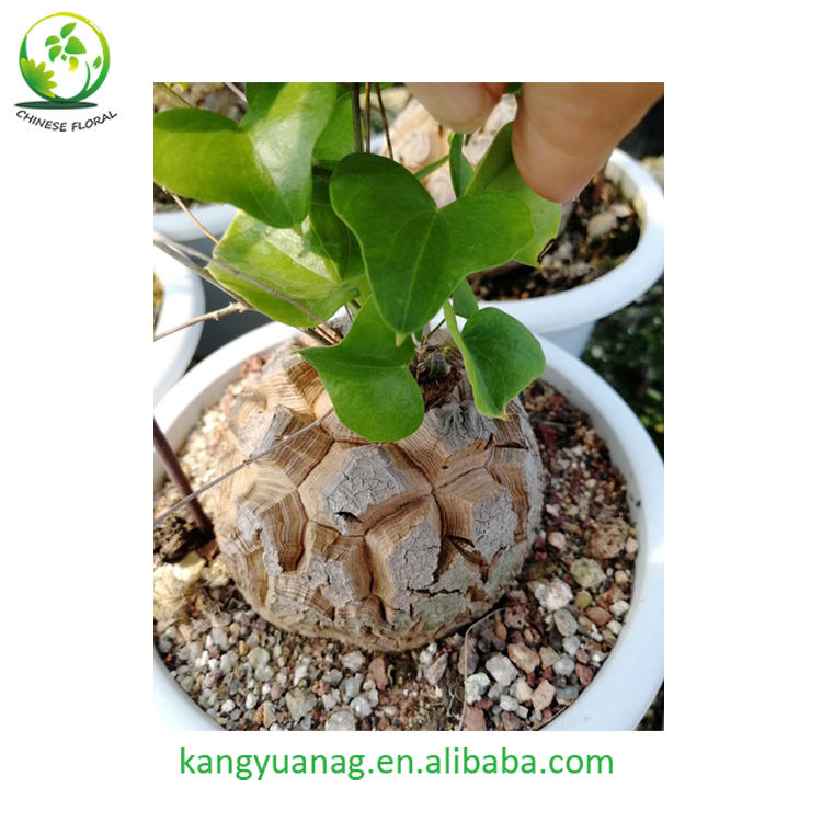 All sizes Dioscorea Elephantipes for sale