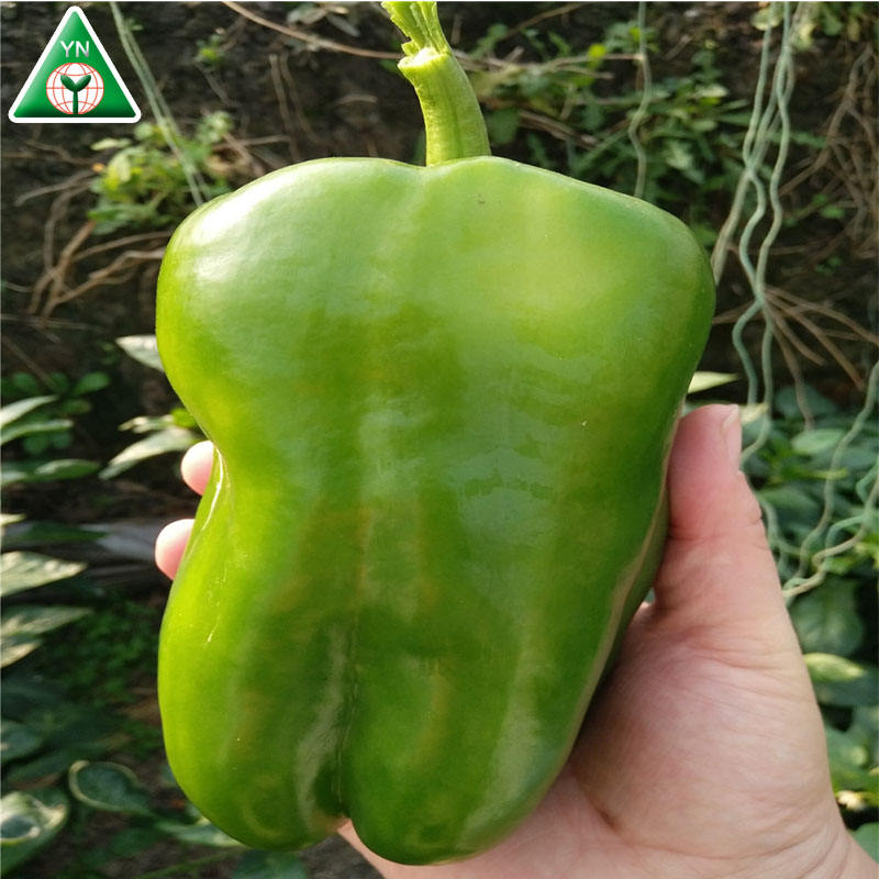 China supplier green /red bell sweet pepper F1 seeds in greenhouse