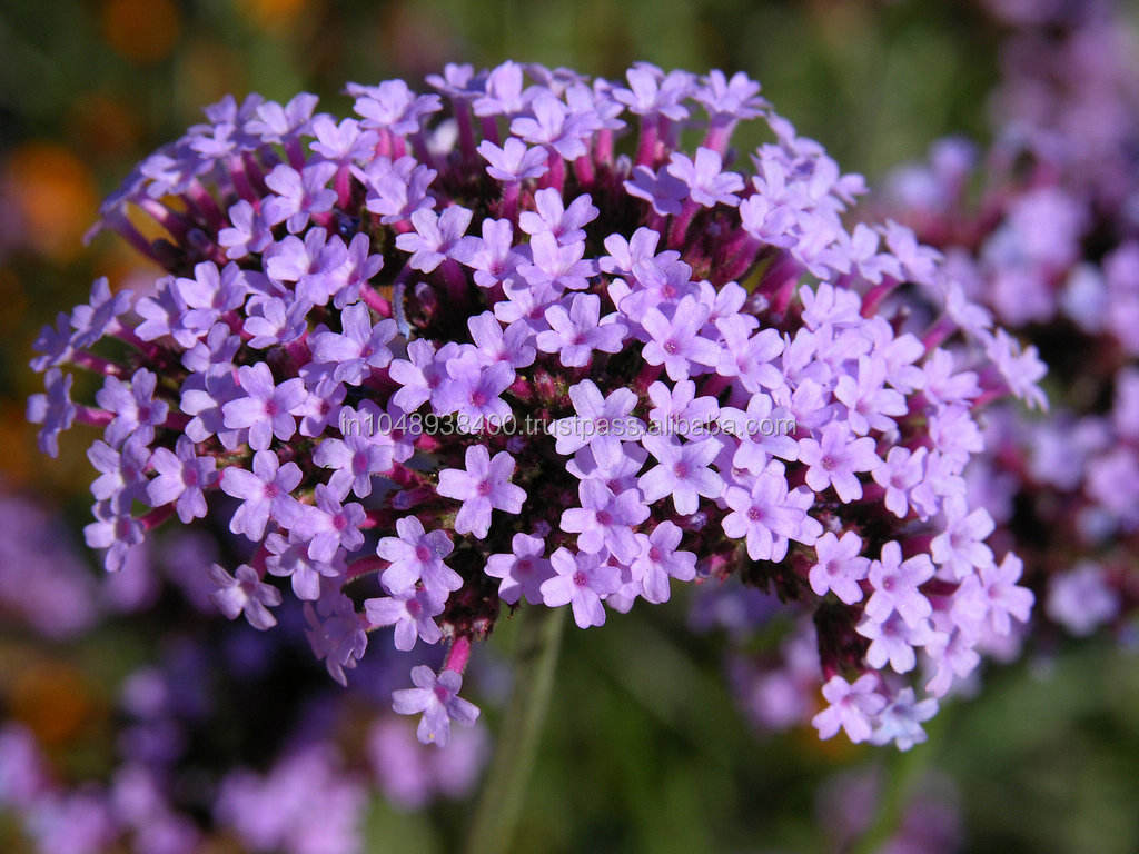 2014 Best Leading Supplier/Exporter for Fresh Lavender Pure Essential Oil