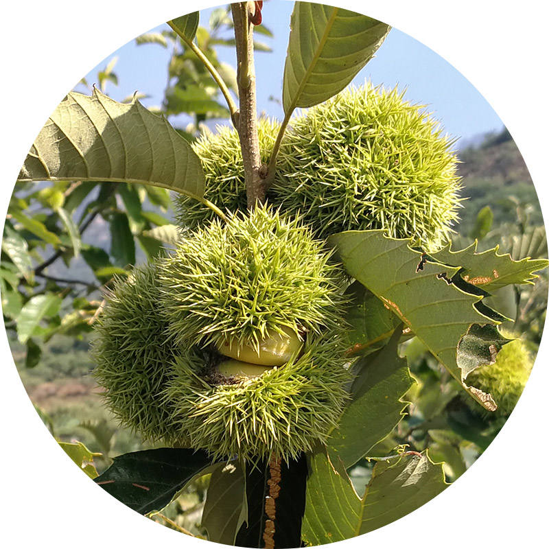 New Crop Chinese Chestnuts s--Organic Fresh Chestnut for sale