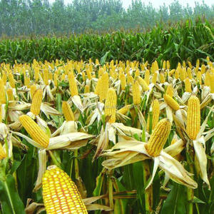 Touchhealthy supply robust growth. Compact plant, handsome, ear moderate yellow corn seeds 500gram/bags