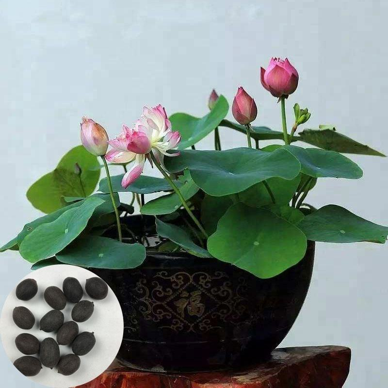 Little Lotus Flower Hot Sell High Purity Best Quality Natural Bowl Lotus Seeds