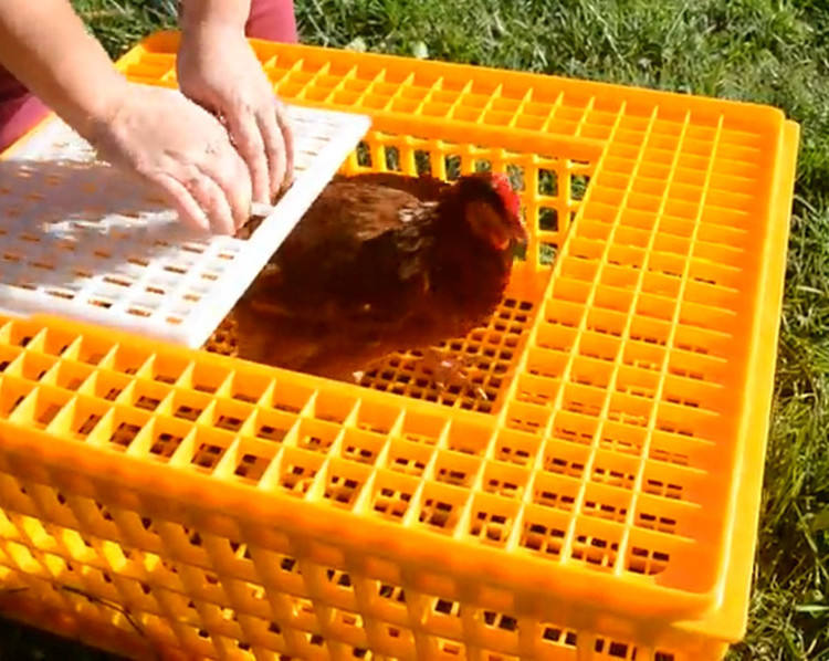 Heavy duty plastic poultry quail pigeon transportation cage for sale in Philippines