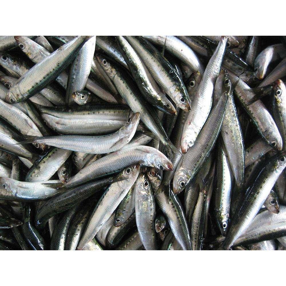 Japan Good Quality Fresh Seafood Frozen Sardine 20-50g For Export