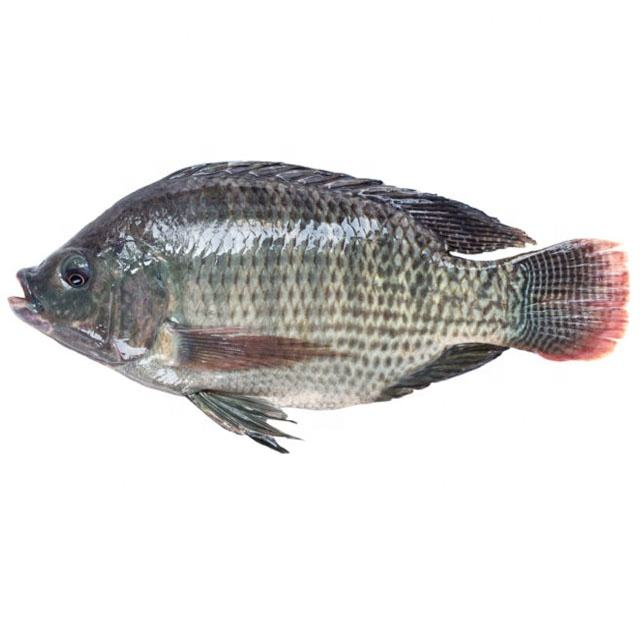 Fresh Seafood and Fish Frozen Tilapia Whole Round for Sale