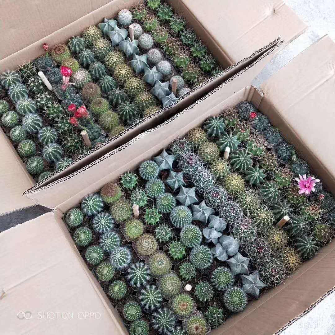 Perennial mini cactus mixed different kinds 4-5cm cactus plants for sale