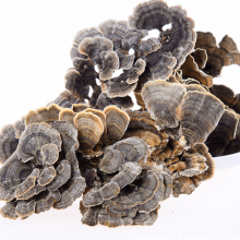 Wild dried natural Trametes Versicolor mushrooms fungus Turkey Tail