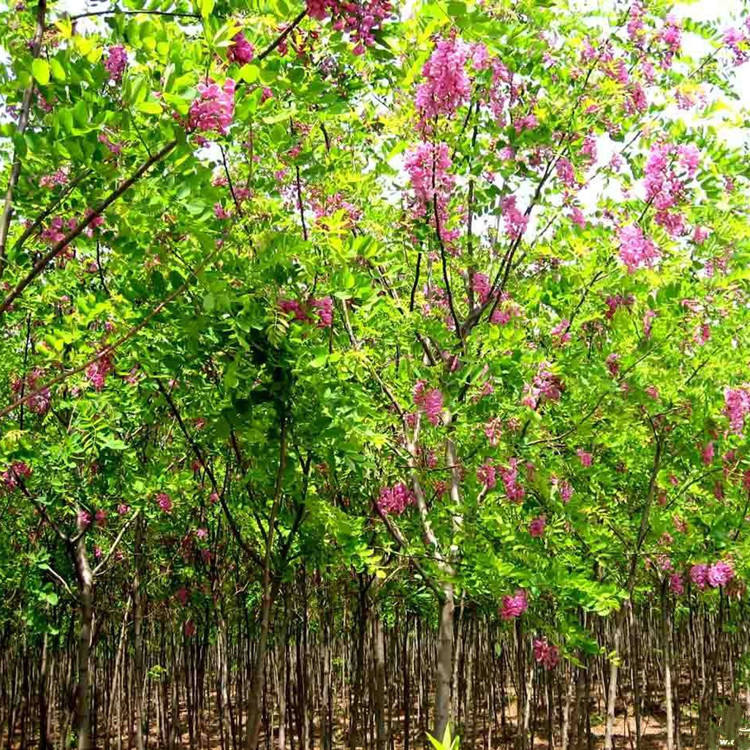 High Quality Natural Plant Seeds Rose Acacia Seeds For Cultivating