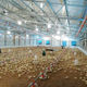 Chicken Chicken Chicken Poultry Steel Structure Chicken Broiler Animal Poultry Farm Stable House