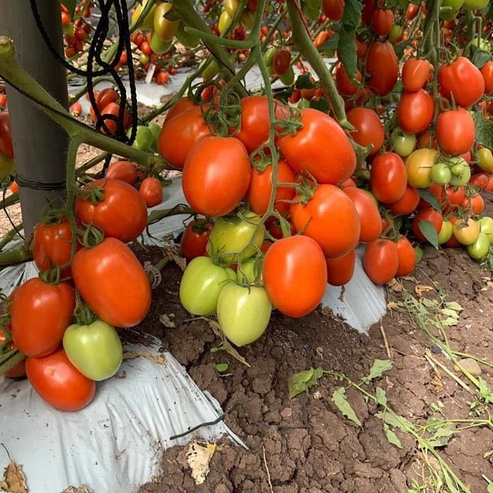 High Yield Heat Resistant Semi-determinate Big Red Oval Roma Tomato Seed For Sale F1 Hybrid