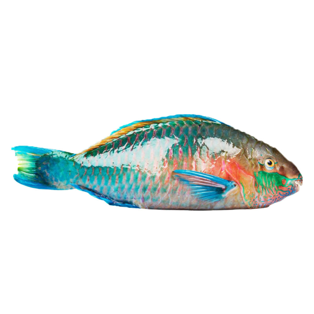 Best seller frozen parrot fish product of Hai Phu Company with IQF freezing method in Quang Ngai Vietnam
