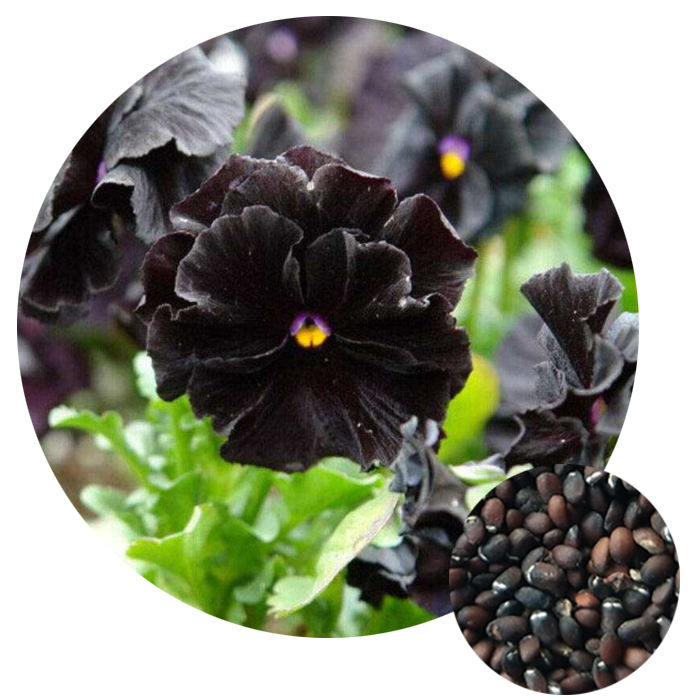 2021 Wholesale popular black Viola tricolor Garden Plant Johnny Jump-ups violet flower seeds