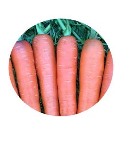 Catalogo De Fabricantes De Semilla De Zanahoria Rojo De Alta Calidad Y Semilla De Zanahoria Rojo En Alibaba Com Un intenso color morado y un tamaño medio mayor que el de las zanahorias que encontramos en el supermercado dan paso a un interior lleno de tonalidades malvas, lilas y violetas, y en ocasiones, naranjas y blancos. alibaba