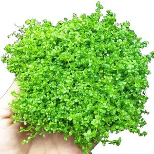 Fish tank landscaping decorative aquatic plants living fresh water plant green chrysanthemum Centipedegrass 1-30