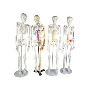85 Cm Manusia Skeleton Anatomi Model Plastik Skeleton Anatomi Model