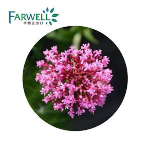 Farwell High Quality CAS#8008-88-6 Natural Valerian Root Essential Oil