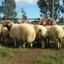 Live Awassi Sheep and Lambs for Sale (Good Health)