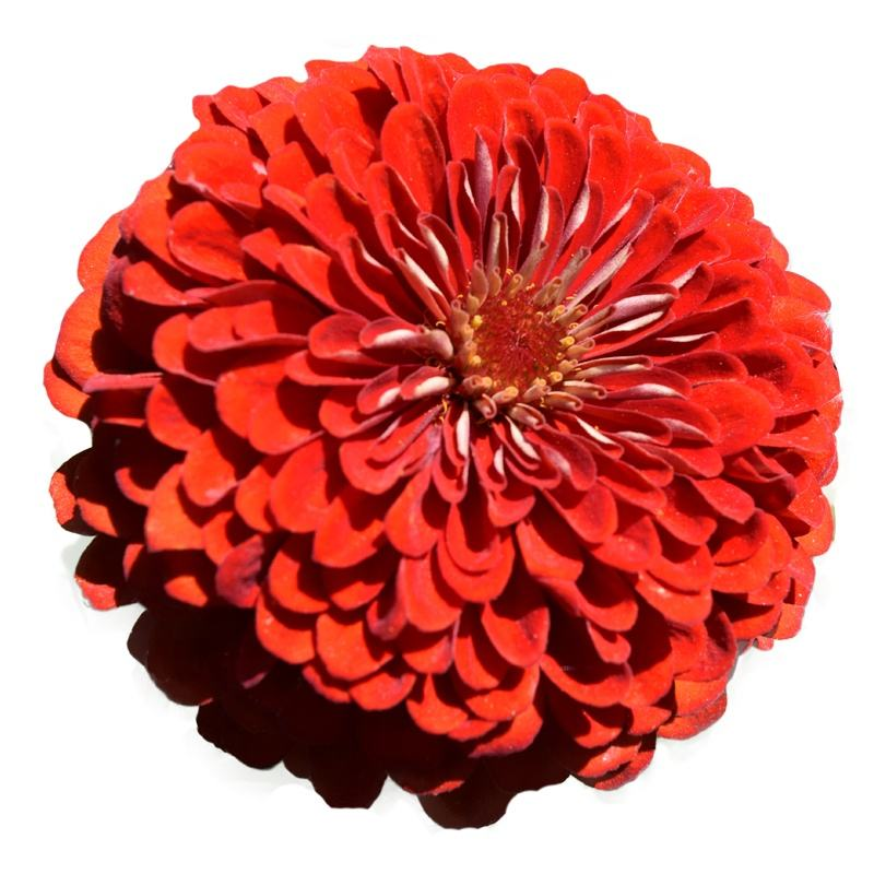 Hot Selling Landscape Summer Beautiful Flower Seed Zinnia Elegans Seed For Planting