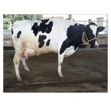 Buy Quality Holstein Heifers Fowl for sale./livestock cattle cow pregnant holstein heifers