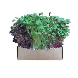 Radish colorful mix sprouts kit with three varieties of radish