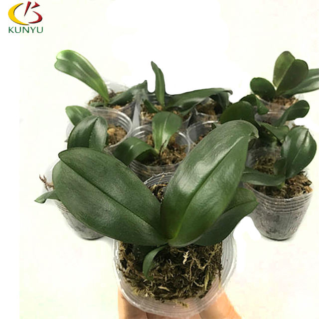 Taiwan imported Orchid flask phalaenopsis seedlings tissue culture for sale