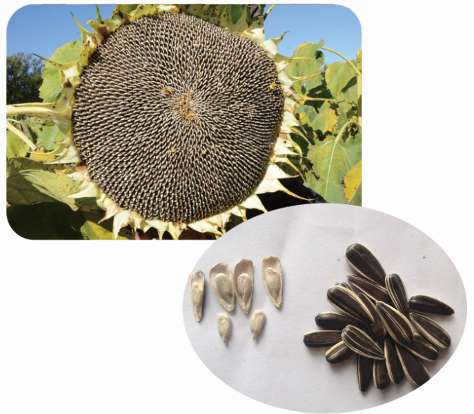 Hybrid f1 Chinese sunflower seeds for planting S3089