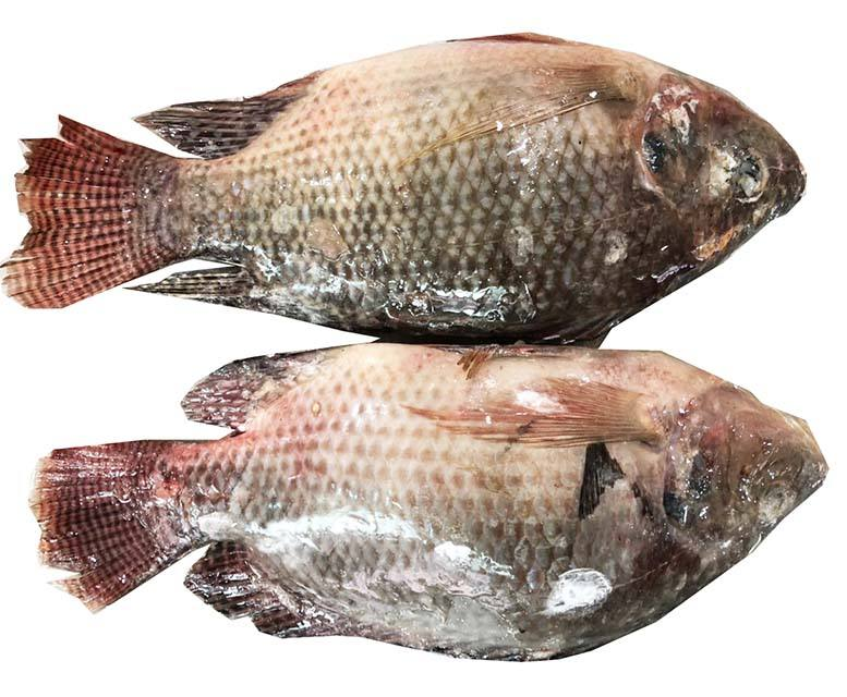 China frozen Fish fresh Tilapia Suppliers