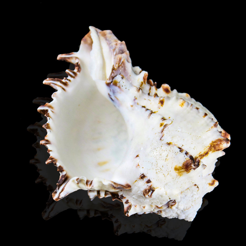 Wholesale natural conch large white bone conch shell craft accessories decoration