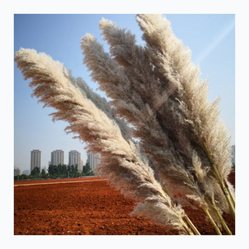 Wholesale Natural Dried reed straw large decorative pampas grass for wedding