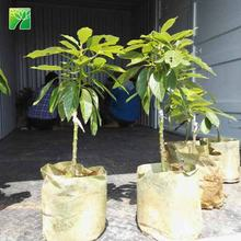 Wholesale 50cm total height un grafted Butyrospermum parkii Avocado tree seedling plant