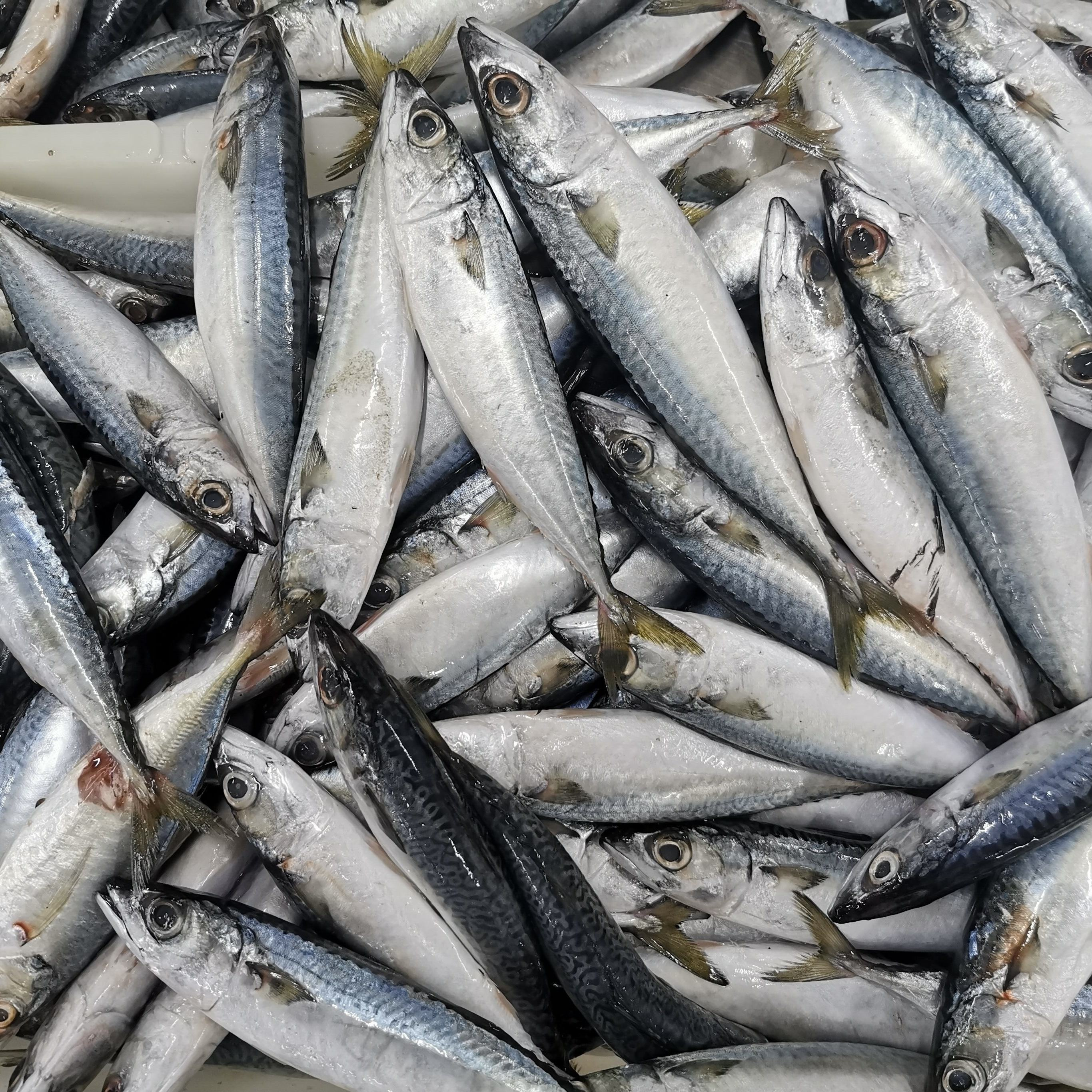 Pacific Mackerel 400G White King Frozen Fish Buyers Iso Fillets Dutch Seafood