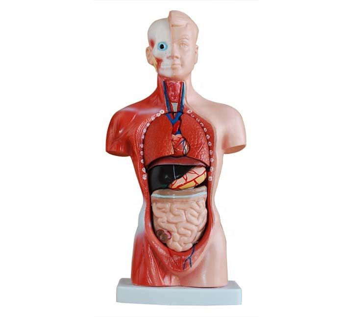 26CM Torso with 15 parts Medical science training anatomical model BC1031-03