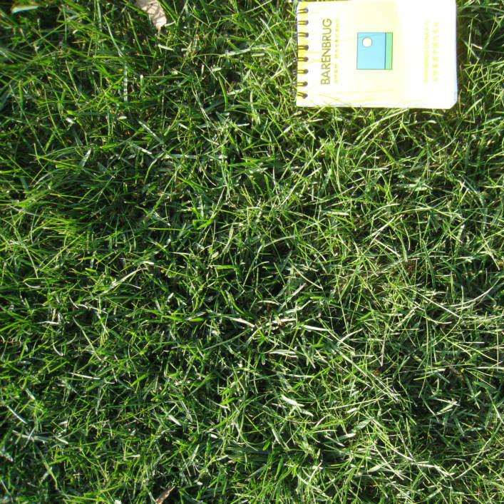 Wholesale creeping red fescue seeds with drought stress for lawn garden