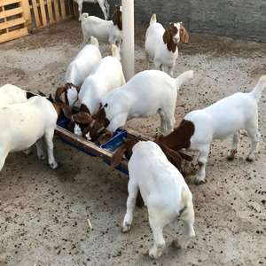 Pure Bred Boer Goats For Sell