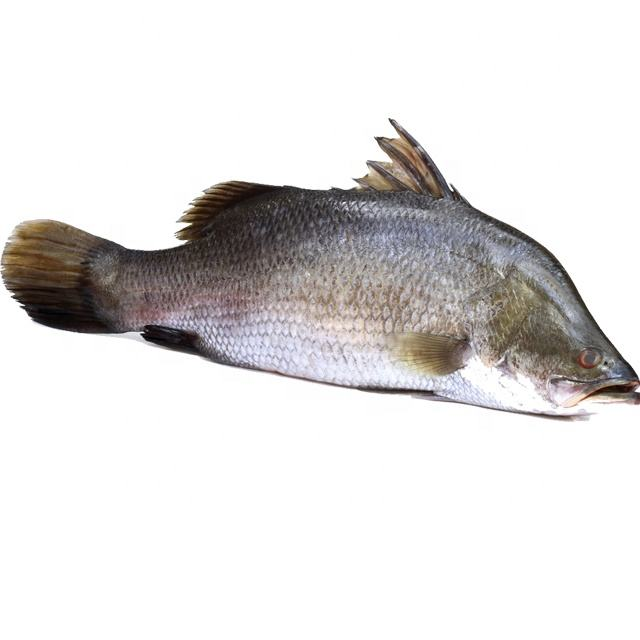Good quality fresh sea bass frozen seafood for sale
