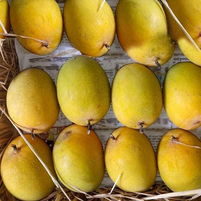 Banganapalli Mangoes Certified Supplier for USA / UK / Europe