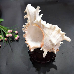 Natural sea shells crafts room decoration ornaments and big conch shell wholesale