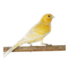 High quality live bird canary pets singing birds for sale